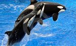 performing-killer-whales-orca-14222317